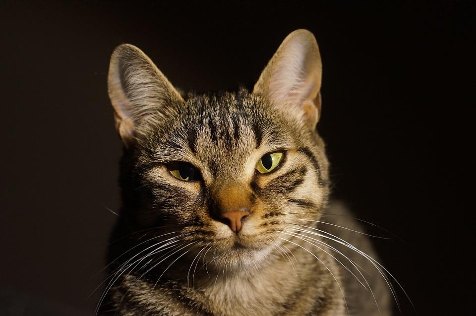 Neugierige, junge Katze beim beobachten.